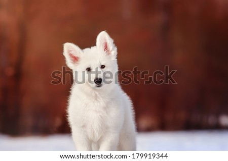 Portrait of white Swiss Shepherd puppy, winter - stock photo