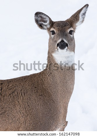 Portrait of White-Tailed Deer - stock photo