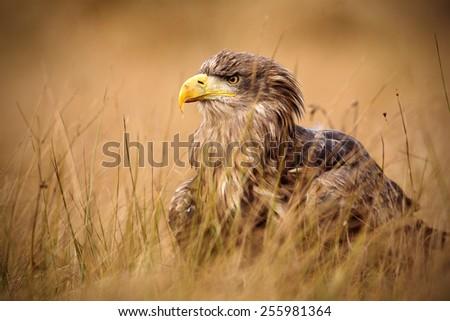 Portrait of White-tailed Eagle, Haliaeetus albicilla, sitting in the brown grass - stock photo