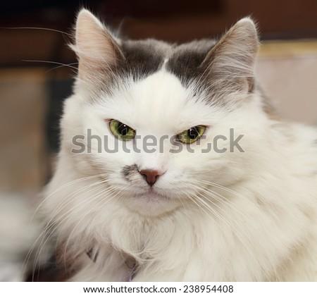 Portrait of white turkish angora cat - stock photo