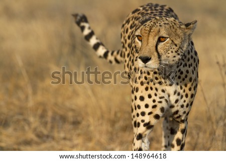 Portrait of wild cheetah patrolling - stock photo