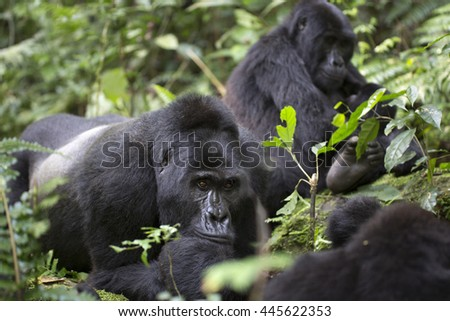 Portrait of wild free roaming mountain gorilla