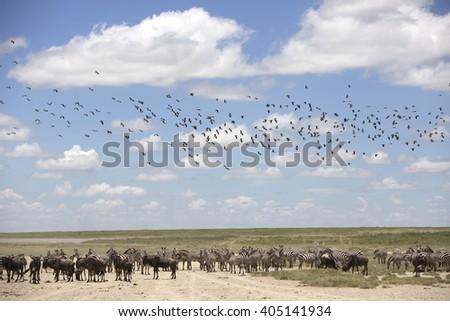 Portrait of wild free roaming zebra and wildebeest migrating - stock photo