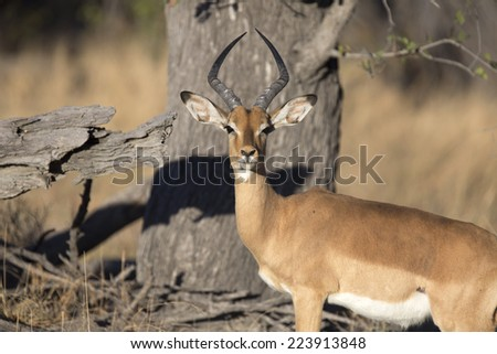 Portrait of wild impala ram - stock photo