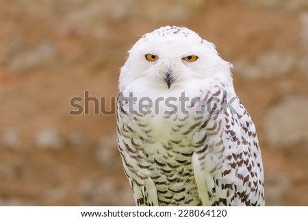 Portrait of wild silent raptor bird white snowy owl gazing at the camera lens with yellow eyes - stock photo