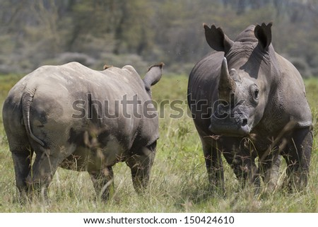 Portrait of wild white rhinoceros - stock photo