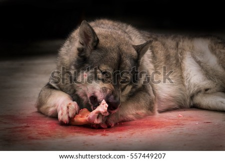 Portrait of wolf eating on dark background. Soft focus. Movement. Digital retouch.