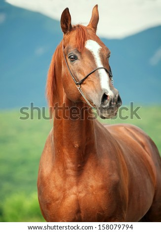 portrait of wonderful sorrel  arabian stallion