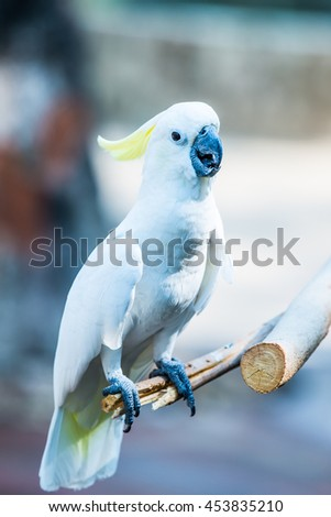 Portrait of Yellow-crested Cockatoo, Thailand - stock photo
