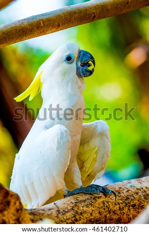 Portrait of Yellow-crested Cockatoo, Thailand