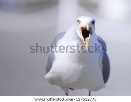 Portrait of yellow legged gull with open beak. - stock photo