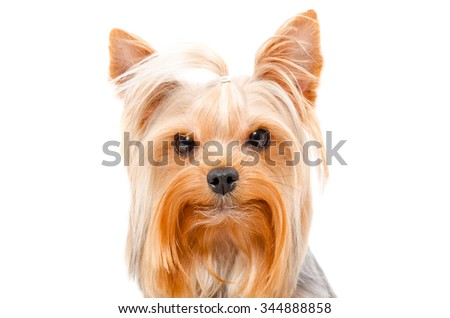 Portrait of Yorkshire Terrier, closeup, isolated on white background - stock photo