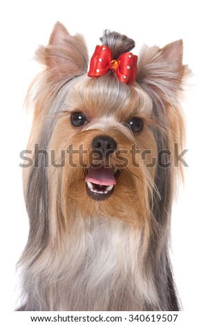 Portrait of Yorkshire Terrier dog (isolated on white)
