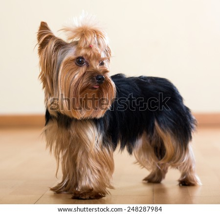 Portrait of  Yorkshire Terrier dog staying on  floor indoor - stock photo