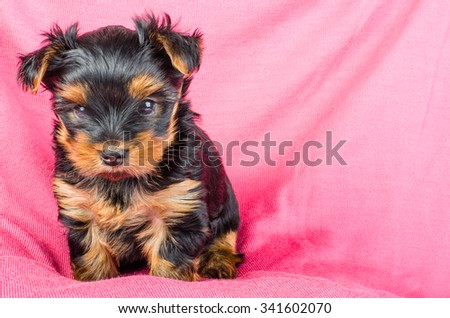 Portrait of  yorkshire terrier puppy with pink bow, 2 months old on pink background - stock photo