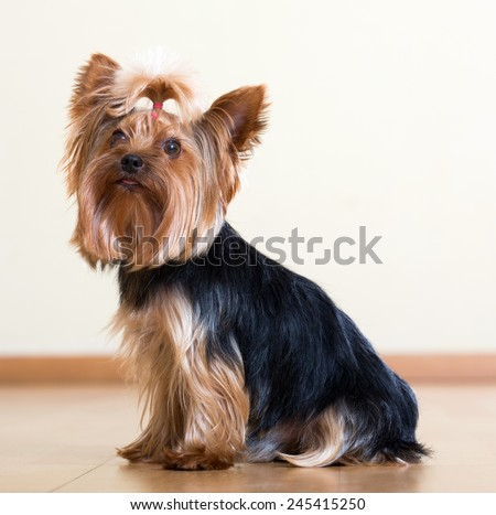 Portrait of Yorkshire Terrier sitting on  floor - stock photo