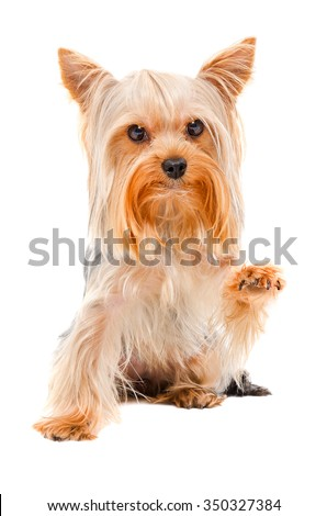 Portrait of Yorkshire terrier sitting with a raised paw, isolated on white background - stock photo