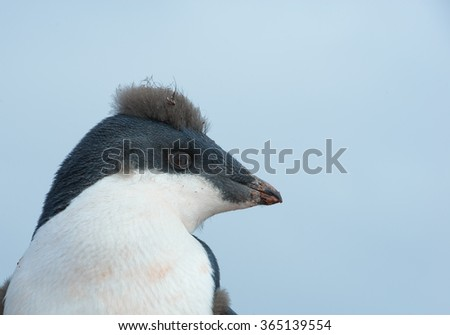 Portrait of young Adelie penguin with punk look, with clean blue background, Antarctic Peninsula, Antarctica - stock photo
