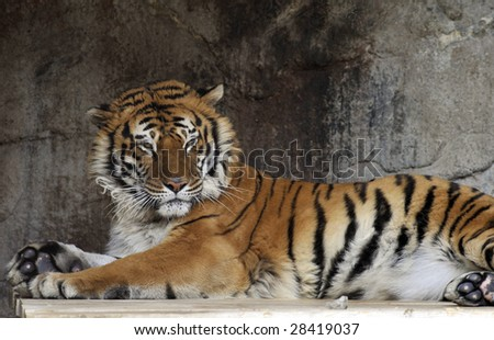 Portrait of young adult tiger in a zoo. - stock photo