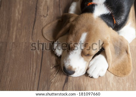 Portrait of young Beagle dog lying on the floor - stock photo