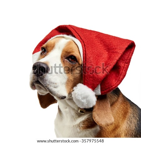 portrait of young beagle dog with christmas hat on a white background
