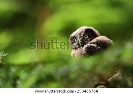 Portrait of young Boreal Owl, with blurred leaves, hidden in green tree in the forest - stock photo