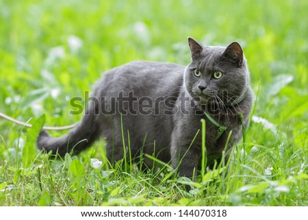 portrait of young british cat in grass, sunlight - stock photo