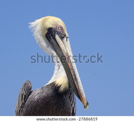 Portrait of young brown pelican - stock photo