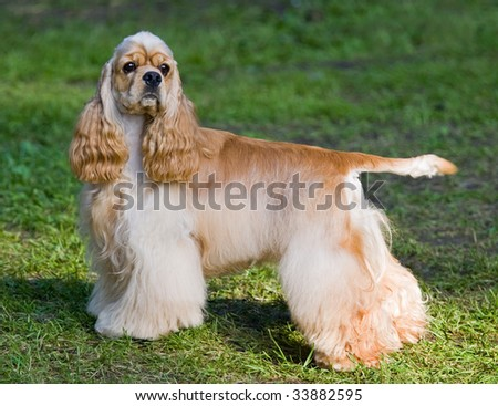 Portrait of Young dog of breed American cocker spaniel - stock photo