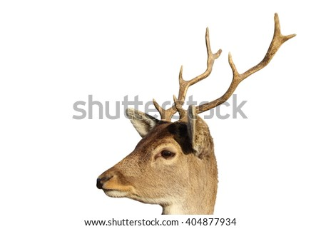 portrait of young fallow deer buck ( Dama dama, male ), isolated over white background - stock photo