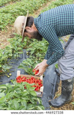 Portrait of young farmer harvesting fresh red strawberries in the summer - stock photo