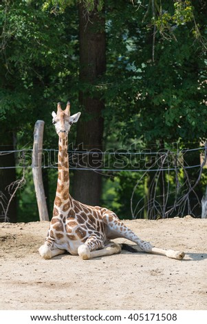 Portrait of young giraffe. - stock photo