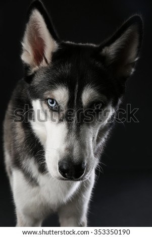 Portrait of young Husky