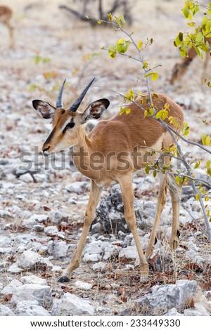 Portrait of young Impala antelope in Etosha national Park, Namibia - stock photo