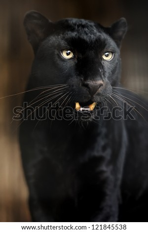 Portrait of young Leopard on a dark background - stock photo