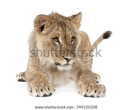 Portrait of young lion cub, Panthera leo, 8 months old, sitting against white background, studio shot