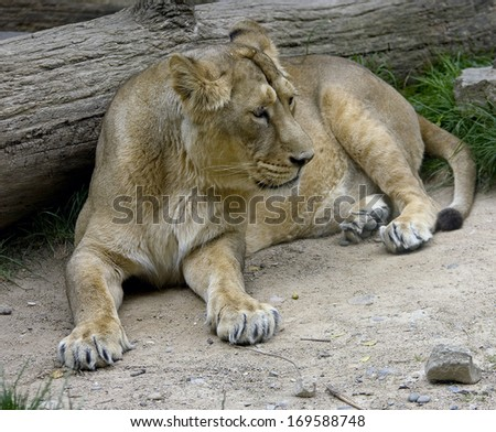 Portrait of young lioness. Latin name - Panthera leo - stock photo