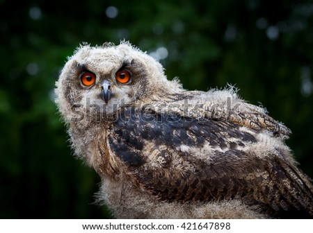 Portrait of  young owl chick in its nature habitat (10 weeks old )  - stock photo
