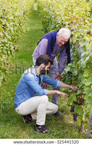 Portrait of young vintner picking grapes. Old winemaker standing next to him at  vineyard and consulting about grape harvest. Senior professional and young man working together at family business.