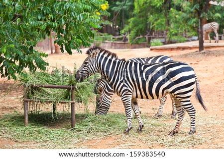 Portrait of zebras in the zoo. - stock photo