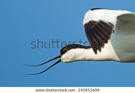 Portrait off a Pied avocet ( Recurvirostra avosetta ) in flight - stock photo