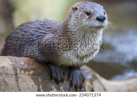 portrait otter - stock photo