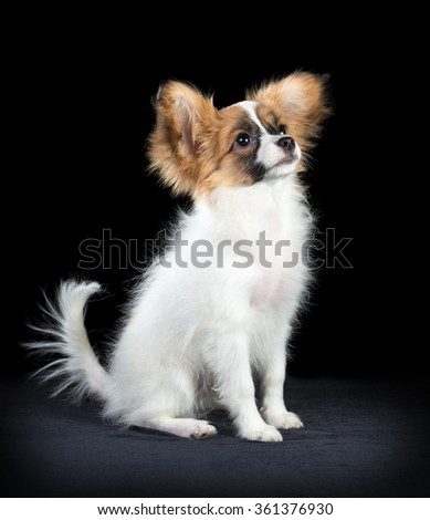 Portrait Papillon puppy age of four months on a black background - stock photo