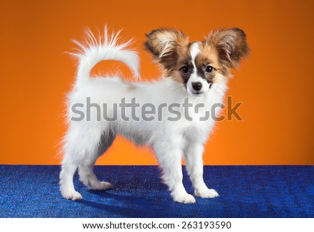 Portrait Papillon puppy age of four months on an orange background - stock photo