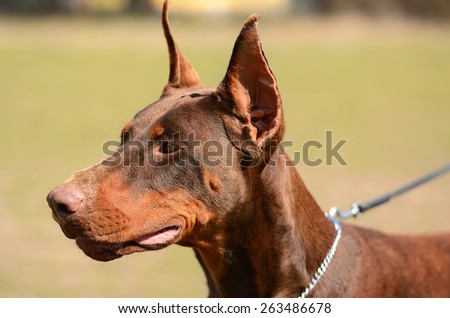 Portrait photo of Brown Doberman Pinscher - stock photo