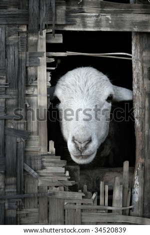 Portrait photo of sheep looking out from thatched bamboo hut - stock photo