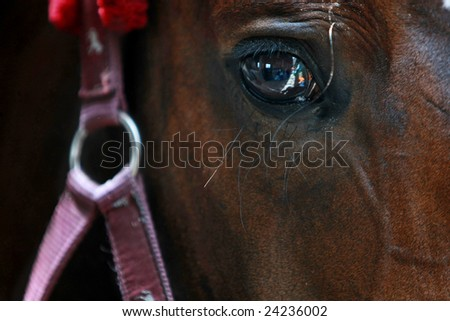 Portrait photograph of dressage horse. - stock photo