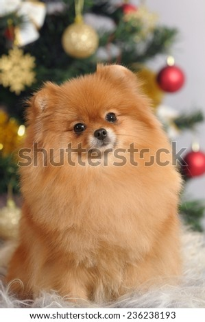 portrait pomeranian dog  in home