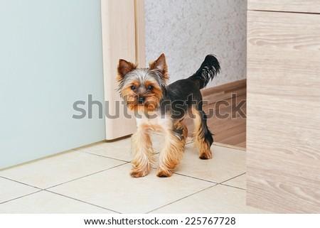 Portrait Puppy Yorkshire Terrier. - stock photo