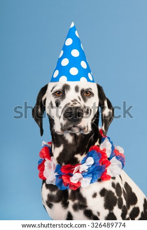 Portrait pure breed Dalmatian dog with birthday hat and chains in studio on blue background - stock photo